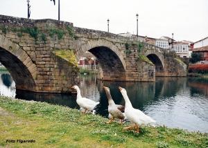 Ocas en Río Cabe. Monforte. Foto Figaredo, Gijón.