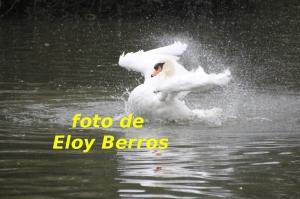 foto-cisne