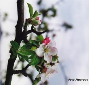 flor de manzano Foto Figaredo Gijón