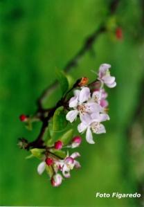 flores de manzano Foto Figaredo Gijón