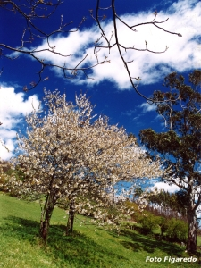 manzano florido Foto Figaredo Gijón