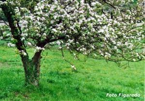 manzano con flores blancas Foto Figaredo Gijón