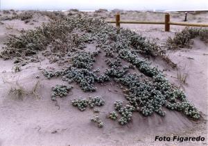flora de dunas en Cabo de Gata Foto Figaredo Gijón