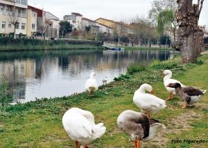 Ocas. Foto Figaredo, Gijón