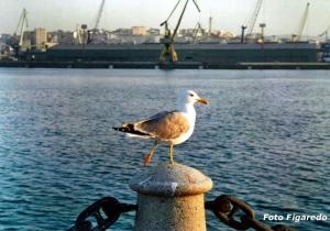 gaviota en La Coruña. Foto Figaredo, Gijón